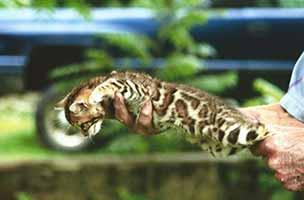 http://amodelminiatures.com/Bengal-Kitten/1sm.jpg