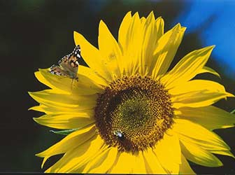 http://amodelminiatures.com/images/Butterfly-on-Sunflower-Dec2017-sm.jpg