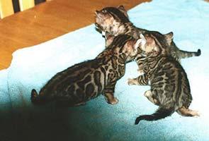 http://amodelminiatures.com/windstorm/Kittens%2012-15-16/Kittens1-sm.jpg