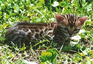 http://amodelminiatures.com/windstorm/Kittens-2017/Bengal-F2-Female/F2-Female-5-sm.jpg