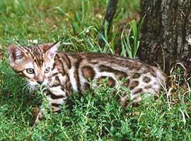 http://amodelminiatures.com/windstorm/Kittens2017-8-8/Bengal-Kitten-8-8-17-A-sm.jpg